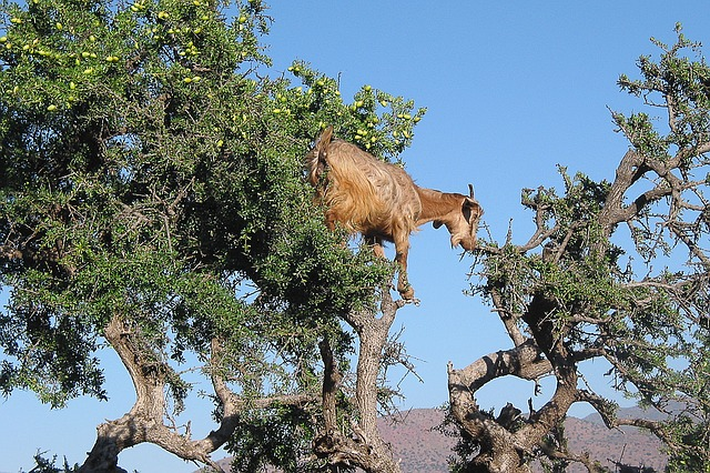 Argan Oil Tree