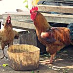 How To Get Organic Eggs From Chickens At Home